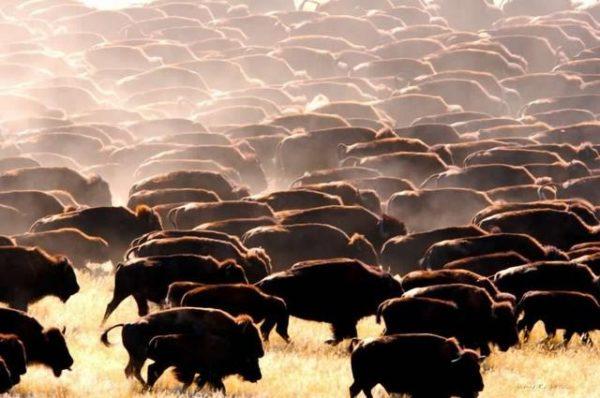 normal_buffalo-herd-24x36-240dpi